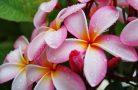 Плюмерия — нежное украшение вашего сада