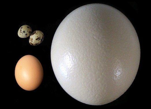 Чим корисні гусячі яйця?