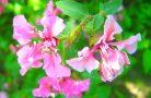 Яркий и невероятный цветок кларкия