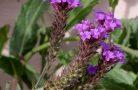 Полезные свойства растения вербены