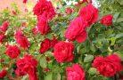 Плетистая роза — королева вашего сада