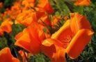 Эшшольция — шикарный вариант для украшения сада