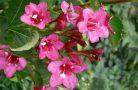 Красивый и яркий кустарник вейгела
