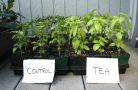 Для чего нужен компостный чай?