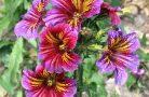 Доступные и красивые цветы сальпиглоссис