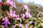 Советы по выращиванию чабера садового
