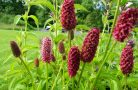 Лечебные свойства растения кровохлебка