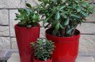 Самые популярные денежные растения
