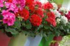 Полезные советы по уходу за цветком пеларгония