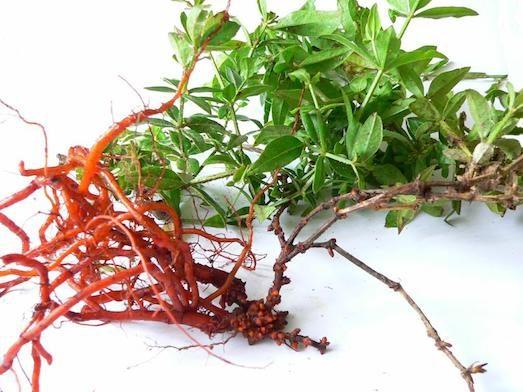 Марена красильная — лечебные свойства и применение