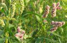 Лекарственные свойства растения птичья гречишка