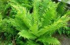 Особенности выращивания папоротника на участке
