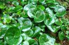 Применение и лечебные свойства растения копытень