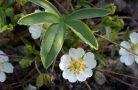 Полезные свойства растения лапчатка белая