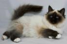 Как содержать гималайскую кошку?