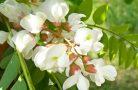 Полезные свойства цветков акации