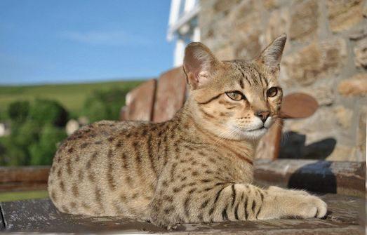 Как ухаживать за кошкой породы Египетский мау?