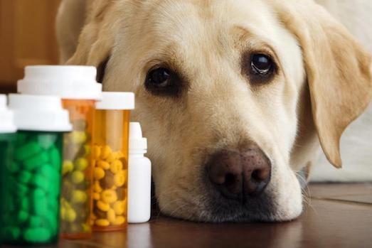 Обзор самых популярных средств от глистов у собак