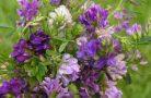 Растение люцерна — полезные свойства и противопоказания