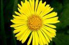 Чем полезно растение арника?