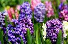 Как ухаживать цветок гиацинт?